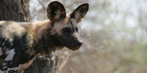 Wild dog Part of Africa Botswana