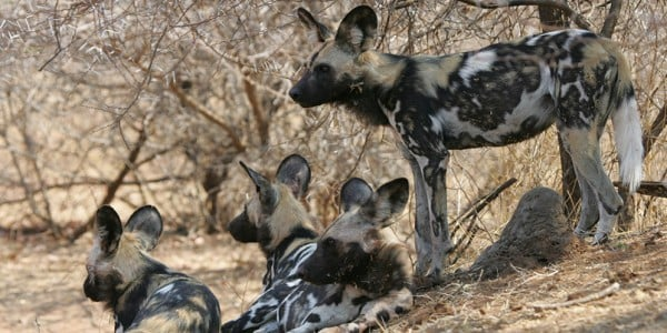 Pack of Wild dogs Botswana