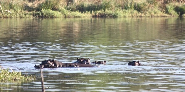 Hippos swimming Part of Africa