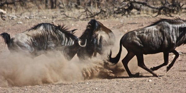 Wildebeest Botswana Part of Africa