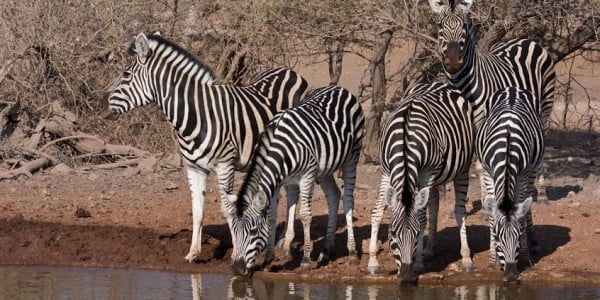 Zebras drinking water in Part of Africa