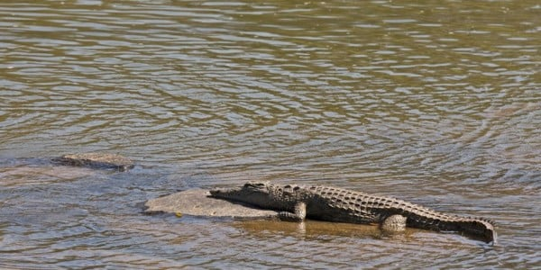 Crocodile in the Limpopo river Botswana Part of Africa