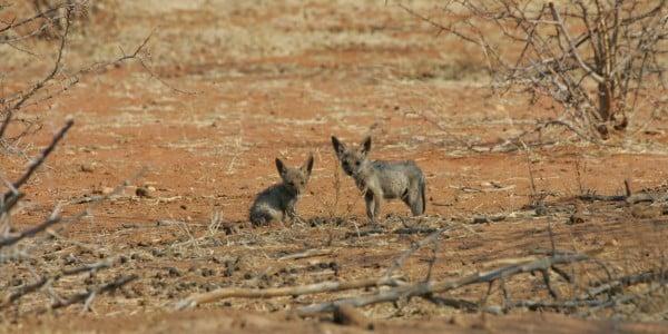 Baby predators jackals
