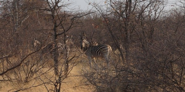 Zebras hiding in the African bush