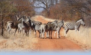Zebras blocking the road