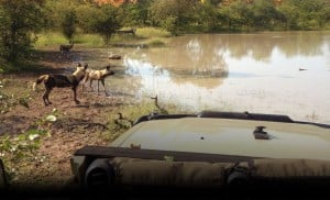 Wild dogs at a waterhole
