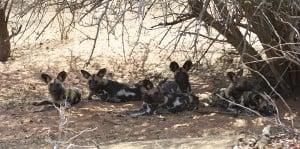 Wild dogs endangered Botswana