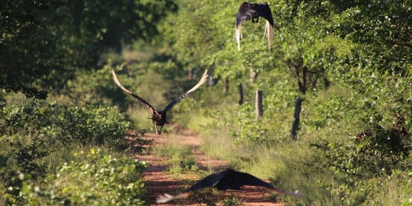 Ground hornbill flying