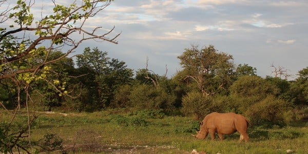 White Male Rhino Grazing