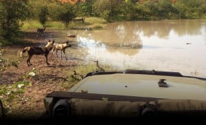 Wild dogs in water part of Africa
