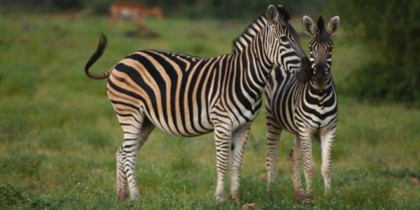 Zebras in the gras