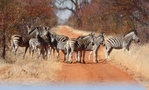 Group of zebras blocking the road