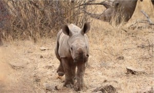 Rhino cub with mother rhinocerus