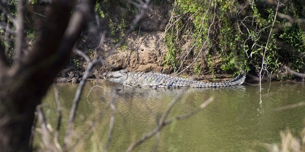 Crocodile in the Limpopo River