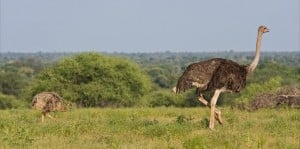 Ostrich baby in Botswana