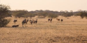 Blesbok crossing the northern plains