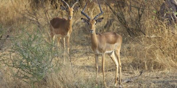 Posing impala