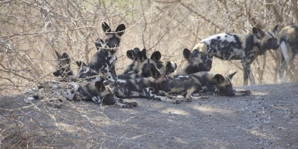 Wild dogs resting