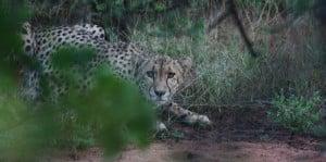 Photo of a Cheetah