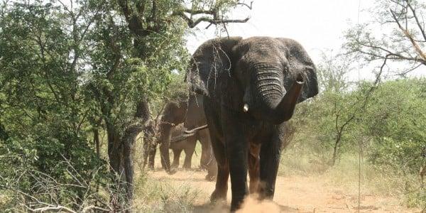Elephant mammal