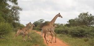Giraffe crossing road