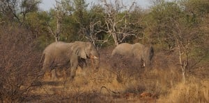 Elephants wandering