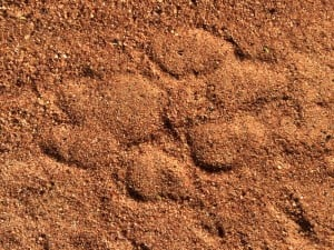lion tracking footprint