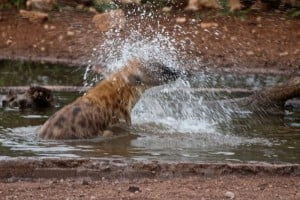 hyena water part of africa