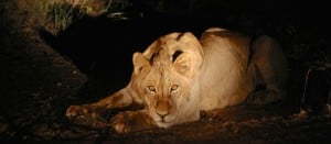 lion in our part of africa